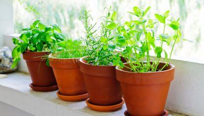 Jardín de aromáticas. Usos y propiedades de las plantas.